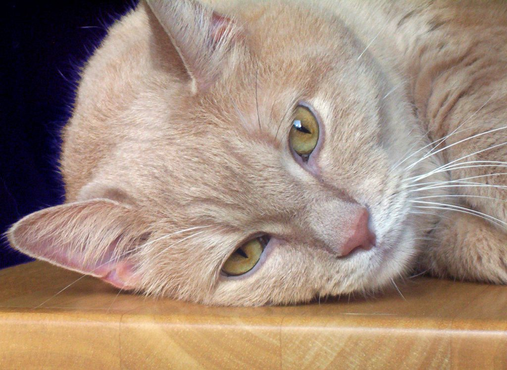 what causes diabetes in cats