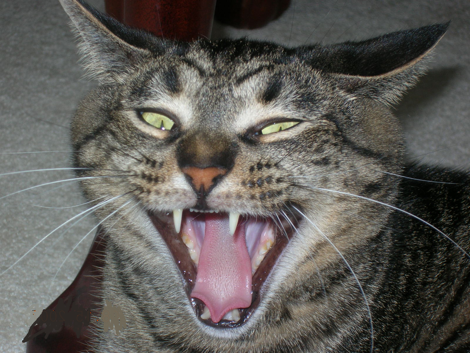 Funny Cat Hissing
