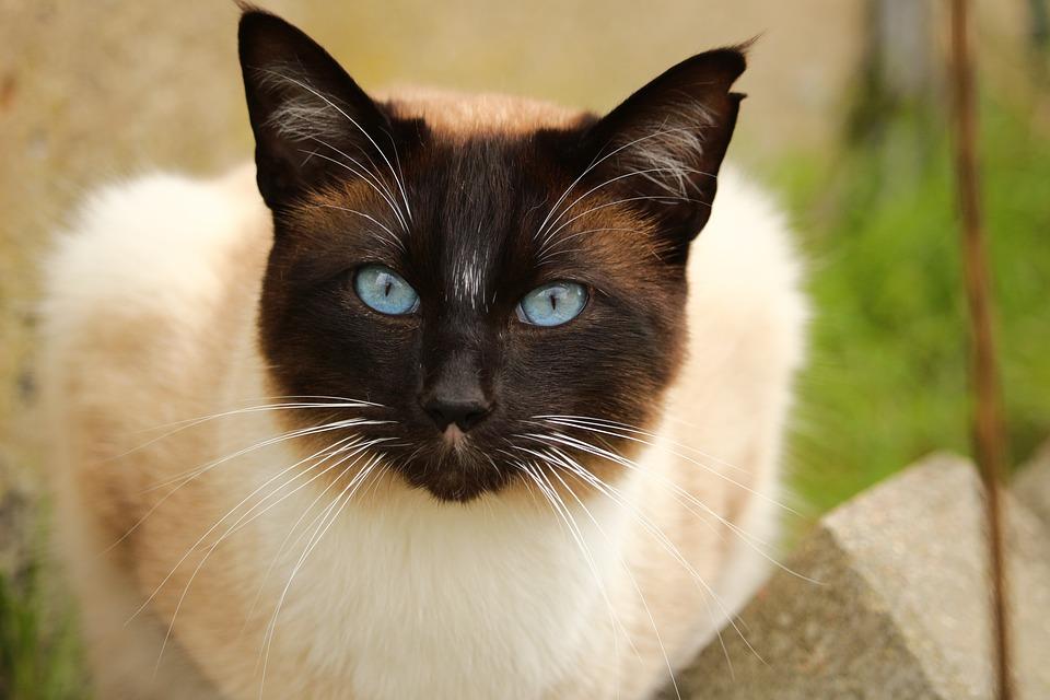 choosing a cat breed