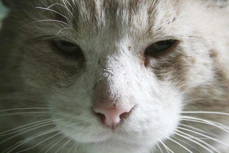 through which part of its body does a cat sweat the most?