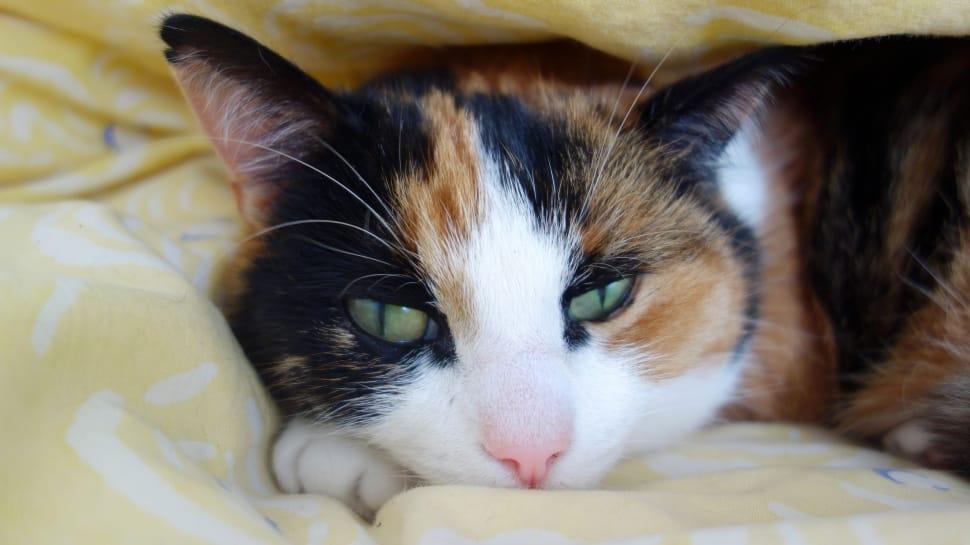 tortoiseshell cats